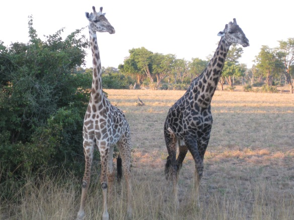 Giraffes to Ooooh and Aaaaah at in South Luangwa National Park, Zambia